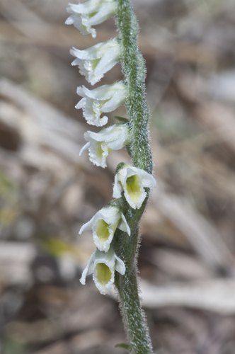32. Spiranthes spiralis