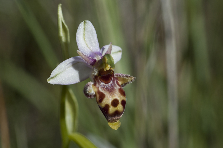 23. Ophrys picta