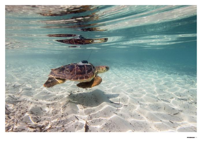 Cannoli, la tortuga oceanógrafa