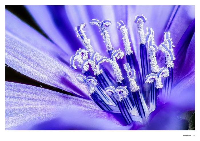'Cichorium intybus' L.