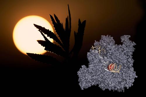 Hallan el mecanismo por el que las células reparan el ADN afectado por radiación ultravioleta