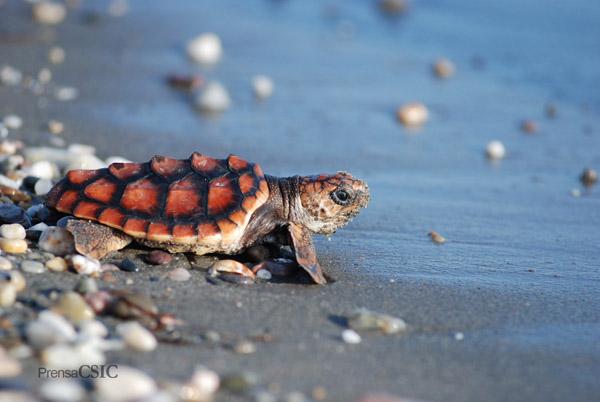 Proyecto de reintroducción de la Tortuga Boba 'Caretta caretta' en las playas de Cabo de Gata, Almería